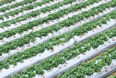 Strawberry farm. Strawberry fruit farm in asia stock photography