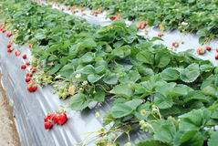 Strawberry farm. Royalty Free Stock Photo