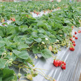 Strawberry  farm. Stock Photography