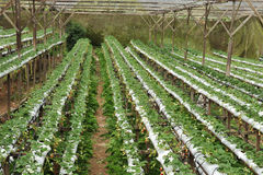 Strawberry Farm Royalty Free Stock Photo