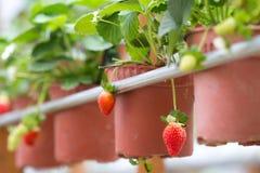 Strawberry farm. The organic strawberry farm at Cameron Highlands Malaysia Stock Image