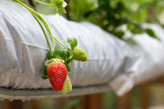Strawberry farm. The organic strawberry farm with the focus on the strawberry Stock Images