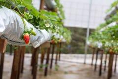Strawberry farm. The organic strawberry farm at Cameron Highlands, Malaysia Stock Photos