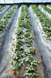 Strawberry Farm Stock Images