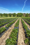 Strawberry Farm Stock Photography