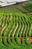 Strawberry farm Royalty Free Stock Image