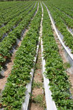 Strawberry farm. Rows and rows of strawberries Stock Image