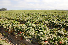 Strawberry farm. A strawberry farm with fresh berries in california royalty free stock photos