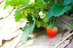 Strawberry Farm,Agriculture farm of strawberry field. In Thailand stock photography