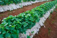 Strawberry Farm,Agriculture farm of strawberry field. In Thailand royalty free stock photography