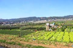 Strawberry Farm Baguio stock photo