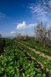 Strawberry farm. With blue sky background royalty free stock photography
