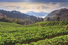 Strawberry farm. At Chiangmai Thailand royalty free stock image