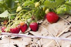 Strawberry farm. In Chiangmai, Thailand stock photo