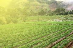 Strawberry farm. On Doi Ang khang, Chiang Mai, Thailand stock image