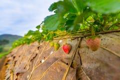 Strawberry farm Royalty Free Stock Photography