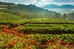 Strawberry farm Royalty Free Stock Images