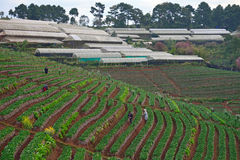 Strawberry farm at Doi angkhang , Chiangmai province royalty free stock images