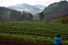 Strawberry farm at Doi angkhang , Chiangmai province stock images