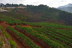 Strawberry farm at Doi angkhang , Chiangmai province stock photo