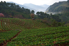 Strawberry farm at Doi angkhang , Chiangmai province royalty free stock image
