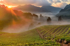 Strawberry farm at Doi Angkhang, Chiangmai Stock Image