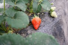 Strawberry Farm stock photos