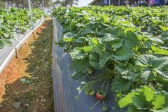 Strawberry in farm. Fresh strawberry in the garden royalty free stock image