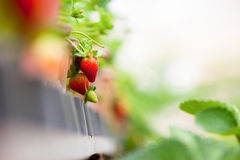 Strawberry farm. Fresh Strawberry in Strawberry farm Royalty Free Stock Image
