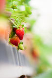 Strawberry farm. Fresh Strawberry in Strawberry farm Stock Photo