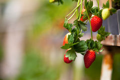 Strawberry farm. Fresh Strawberry in Strawberry farm Royalty Free Stock Photos
