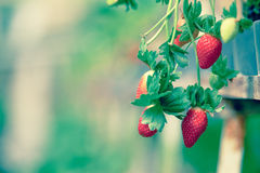 Strawberry farm. Fresh Strawberry in Strawberry farm Stock Images