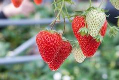 Strawberry farm. Fresh Strawberry in Strawberry farm stock image