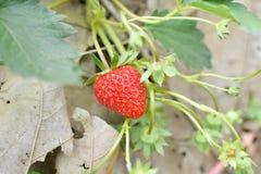 Strawberry in farm. Fresh strawberry in strawberry farm in Thailand Royalty Free Stock Photos