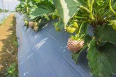 Strawberry in farm. Fresh white strawberry in farm stock images