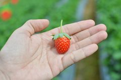 Strawberry in farm. Fresh strawberry in woman hand royalty free stock image
