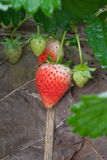 Strawberry farm. And freshy in garden Royalty Free Stock Image