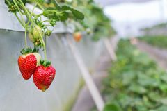 A strawberry farm in a greenhouse royalty free stock photography