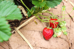 Strawberry in the farm Royalty Free Stock Photos