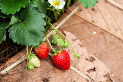 Strawberry in the farm Stock Photo