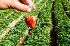Strawberry in farm. Hand pick red strawberry in farm Stock Photo