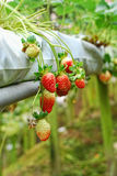 Strawberry farm during harvesting season Stock Photography