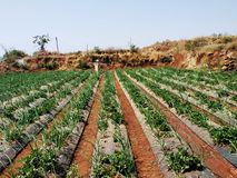 strawberry farm at Mahabaleshwar royalty free stock image