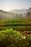 Strawberry farm in the morning at Doi Ang Khang, Chiang Mai Stock Image