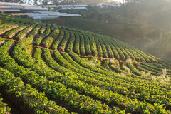 Strawberry farm in the morning Royalty Free Stock Images