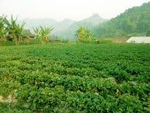 Strawberry farm in mountain royalty free stock photo
