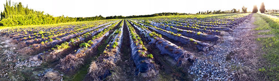 Strawberry farm in panorama Royalty Free Stock Image