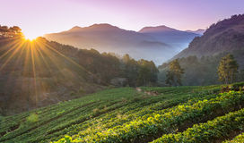 Strawberry farm plant of chiangmai, thailand Stock Image