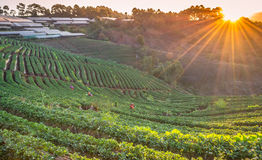 Strawberry farm plant of chiangmai, thailand Stock Photo