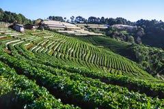 Strawberry farm plant Stock Images